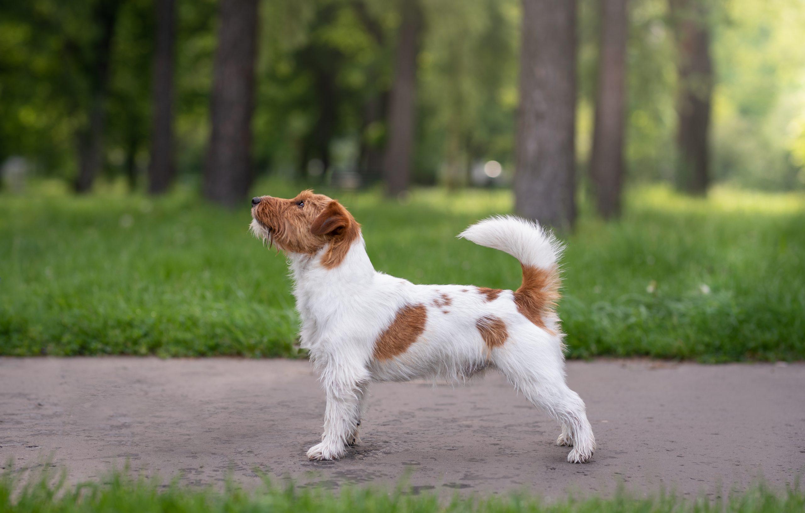 sesja eksterierowa, psy wystawowe, zapowiedź miotu, reproduktor, sesja psów wystawowych